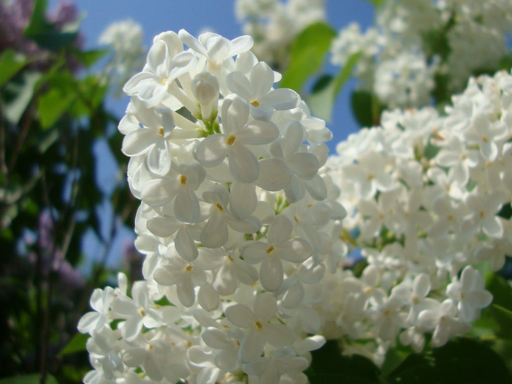 White lilac by norroendyrd on deviantart white lilac by norroendyrd mightylinksfo