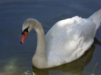 Mute Swan by hummingbird005
