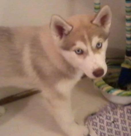 Nalu (my dog) :3 by RaiguTheFox