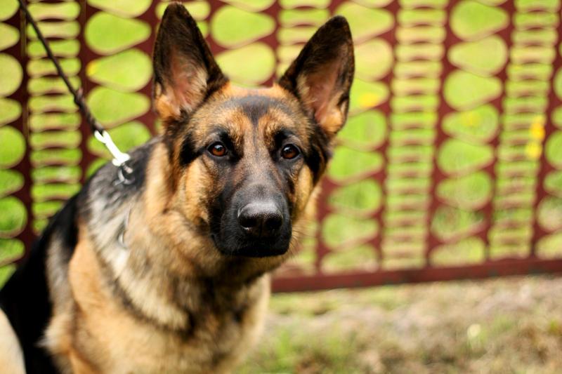german shepherd by Borderkowa
