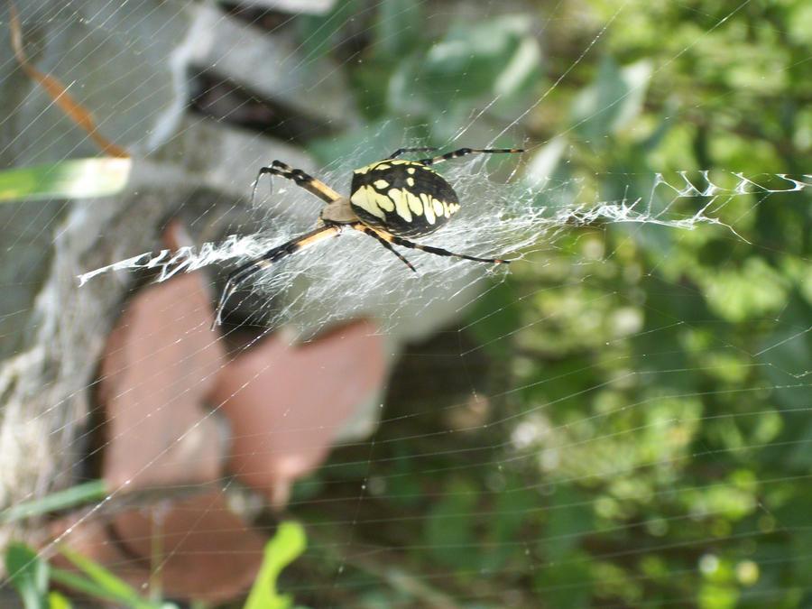 Garden Spider in my yard 2 by leirynot