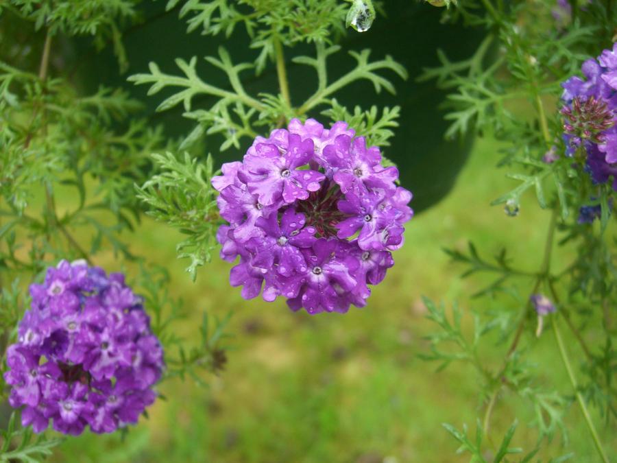 purple Verbena by FlyingFox-Bat