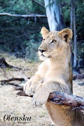 Lionceau, teenager lion