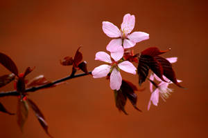 Cherry blossoms by Syzygi