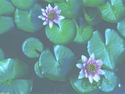 Waterlilies by BlackSweetness