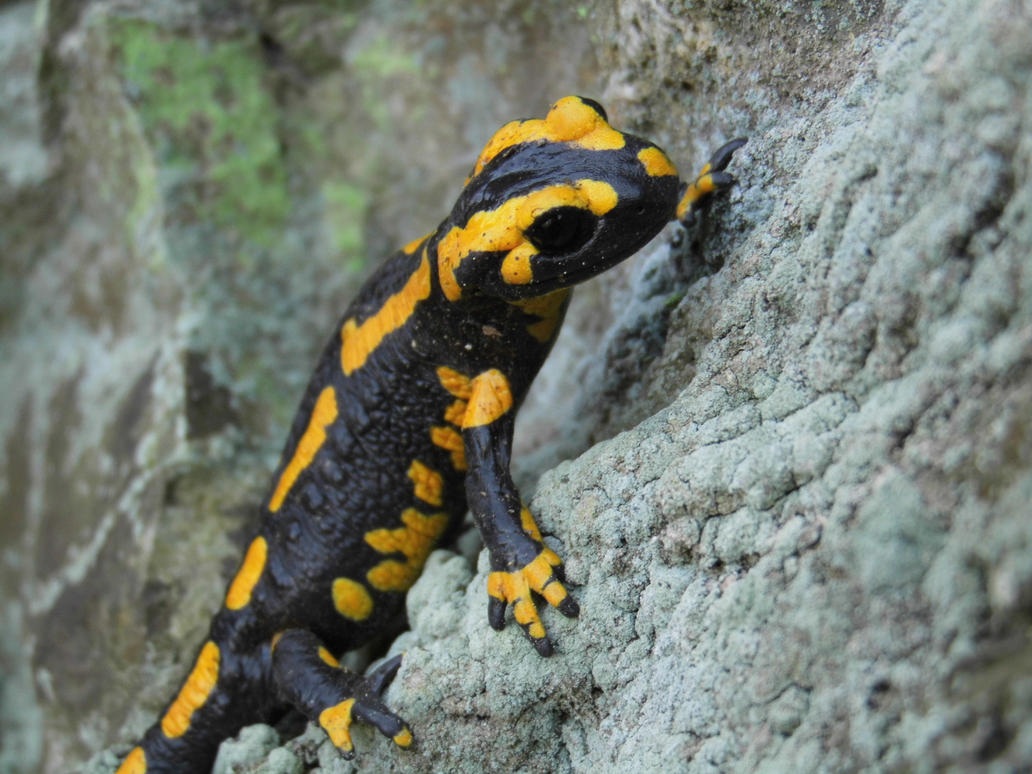 Salamandra salamandra by N1C0L4I