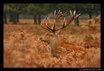 Red Deer Stag II