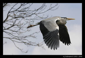 Heron In-Flight by andy-j-s