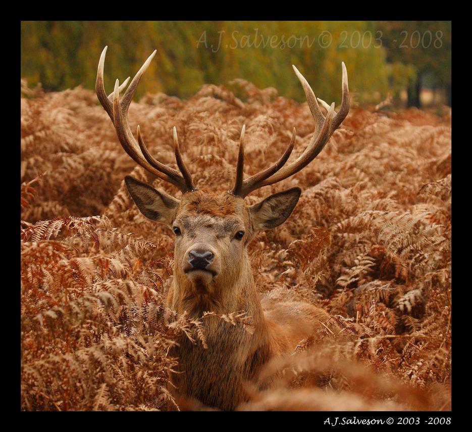 Stag Portrait II by andy-j-s