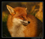 Wiley And Cunning As A Fox