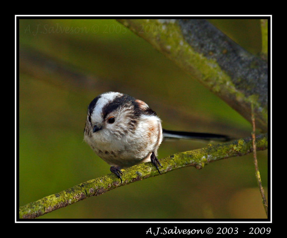 Long Tail Tit IV by andy-j-s