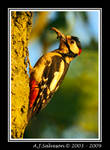 Great Spotted Woodpecker by andy-j-s