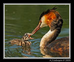 Grebe And Chick