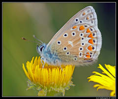 Common Blue by andy-j-s