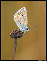Common Blue II by andy-j-s