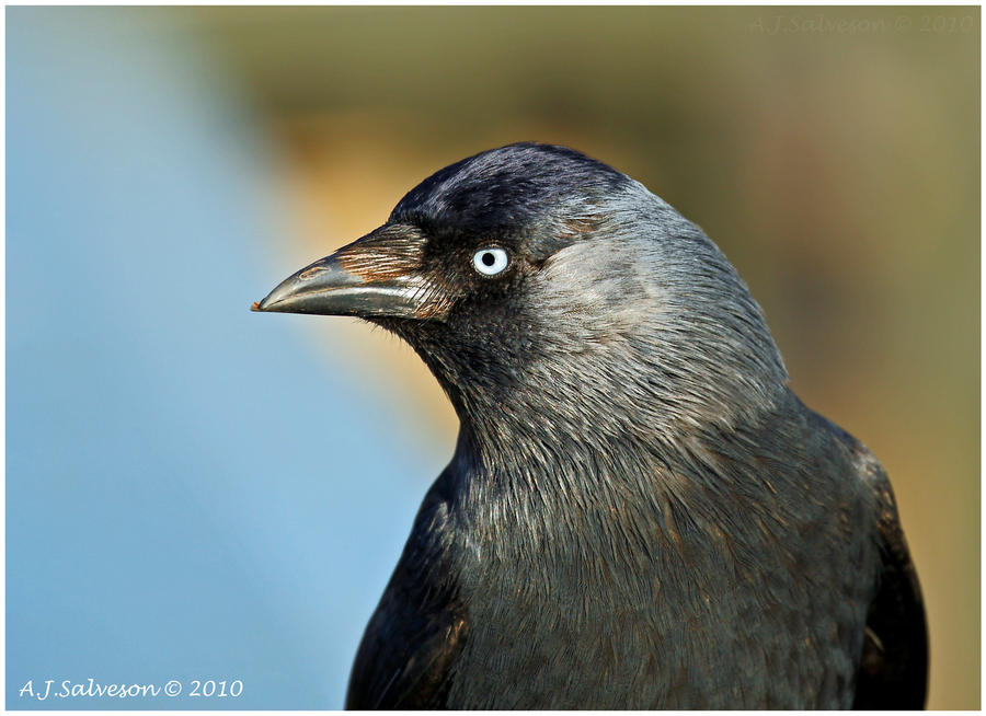 Jackdaw II by andy-j-s