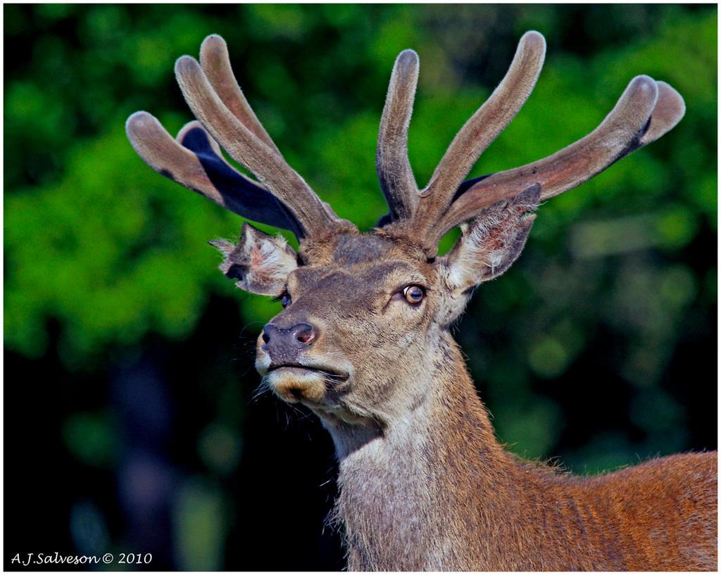 Velvet Antlers by andy-j-s