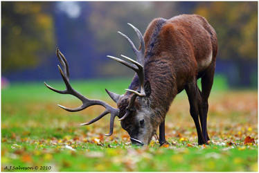 Autumnal Stag. by andy-j-s