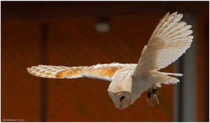 Barn Owl Display III by andy-j-s