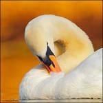 Mute Swan In Evening Sun.