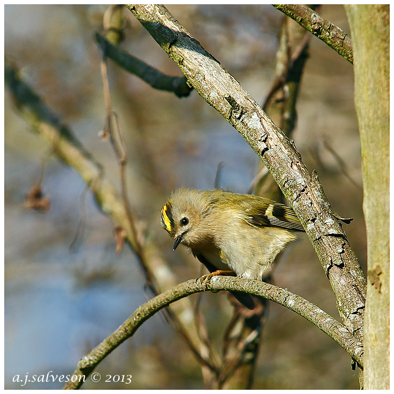 Goldcrest by andy-j-s