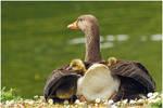 Greylag  Sheltering Her Goslings.