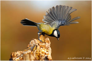 Great Tit Landing. by andy-j-s