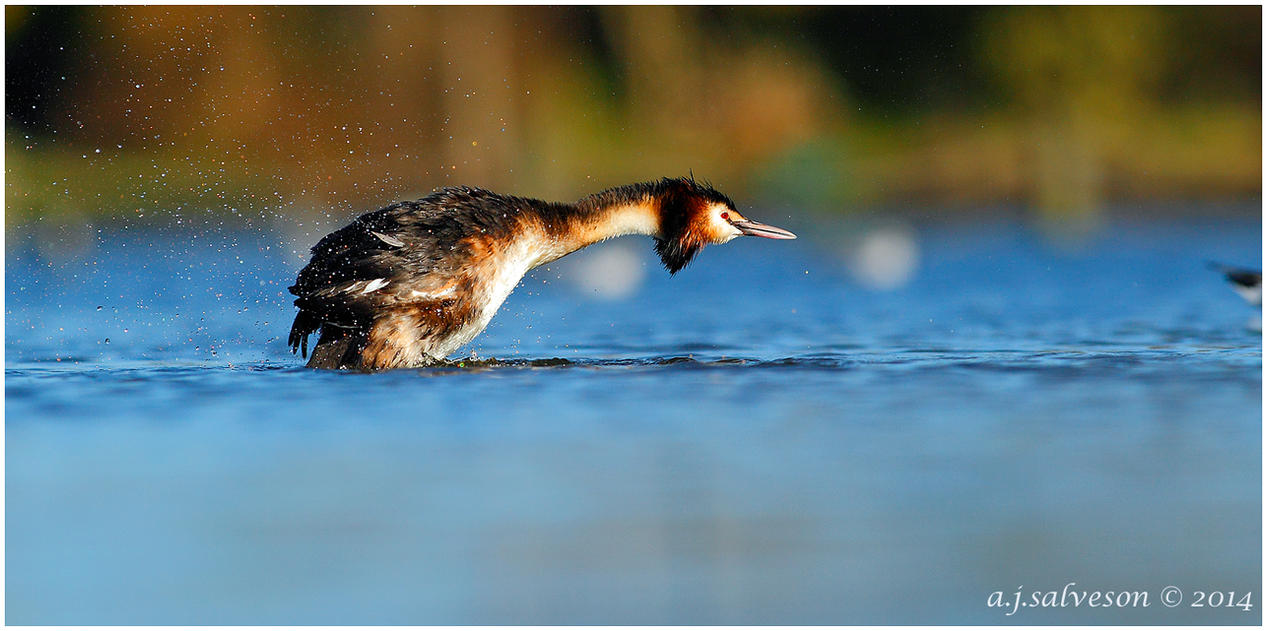 Great Crested Grebe. by andy-j-s