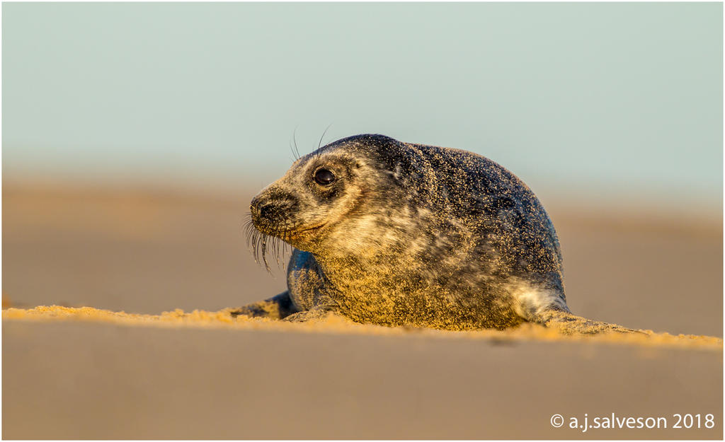 Grey Seal. by andy-j-s