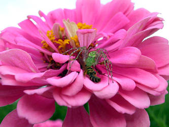 Green Lynx Spider Consumes Bee