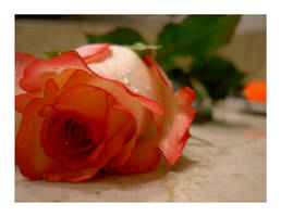 Rose by waytoheaven