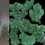 Quercus robur - oak - cutout texture