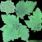 Bracken - Pteridium aquilinum  - cutout texture