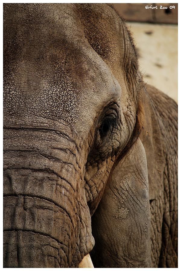 Elefant 2 by Odin77