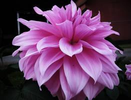 Pink... by billndrsn