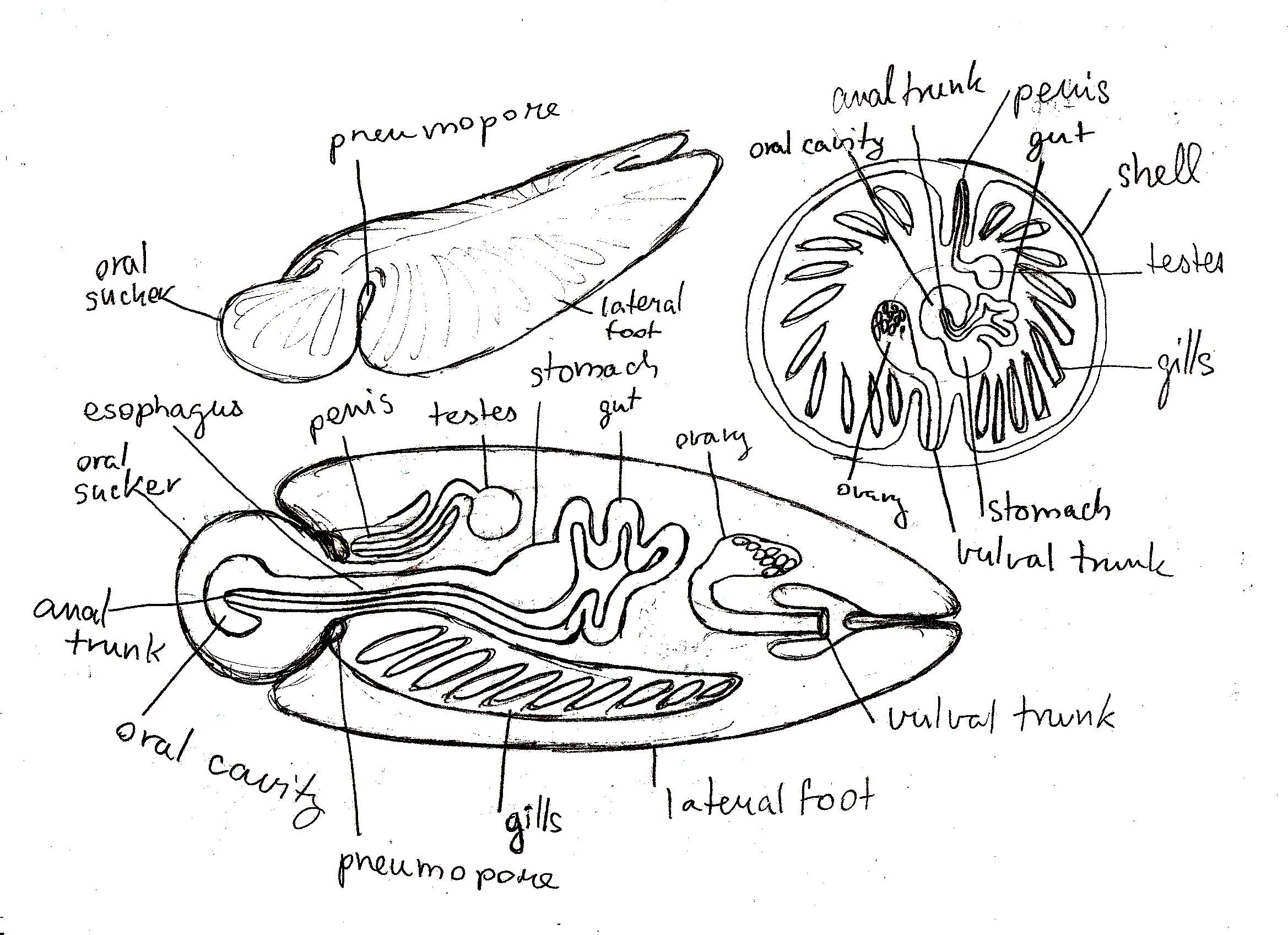 Molluscoid anatomy - \'\'slugs\'\' and \'\'limpets\'\' by PeteriDish on ...
