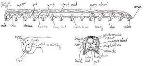 Lacrinopods