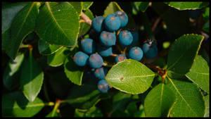 Bangberries 1