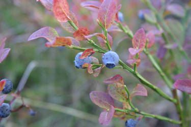 Blueberries by BloodCreek20