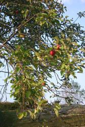 Last Summer Apples by BloodCreek20