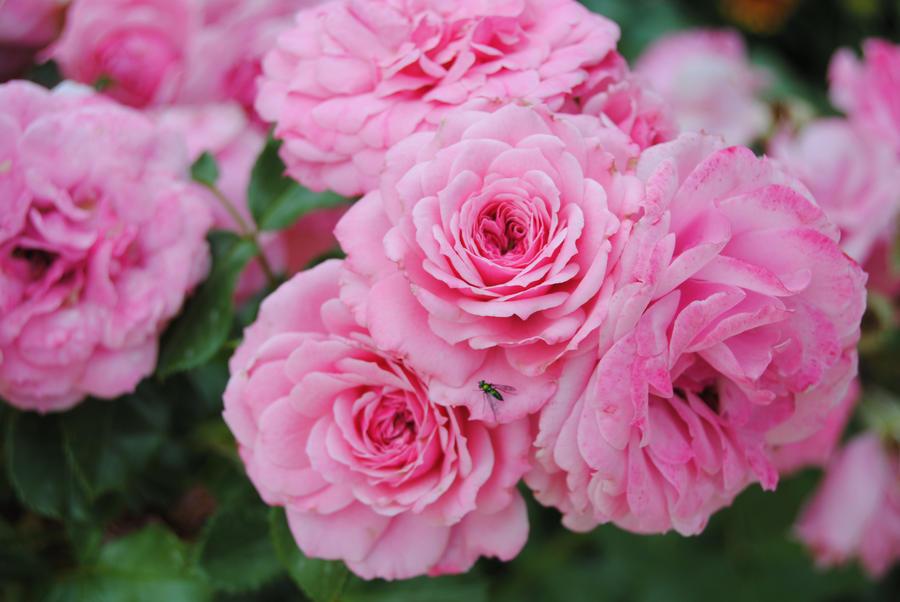 Those Pretty Pink Flowers by Rainbow-potato on DeviantArt