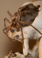 Spider on skull by Picturebeast