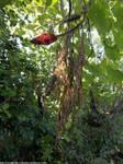 Staghorn sumac