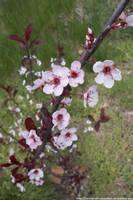 Purple leaf sand cherry flowers by NickACJones