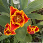 Red and yellow fringed tulip