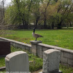 Perched graveyard goose