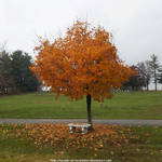Autumn maple with bench