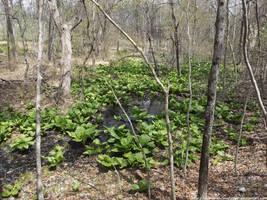 Spring swamp by NickACJones