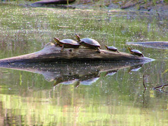 Turtle family by MelanieS