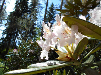Rhododendron by Alhippa